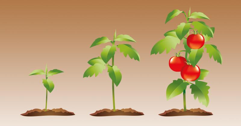 עגבניה עגבנייה