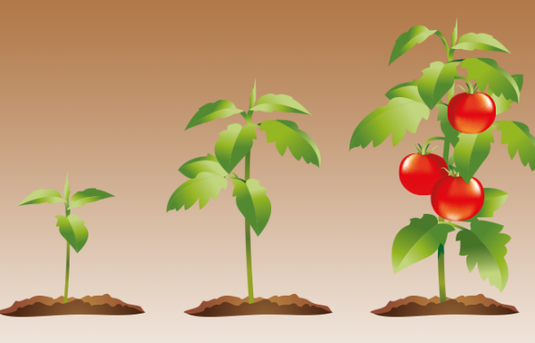 כך תגדלו כמות בלתי מוגבלת של עגבניות אורגניות בבית שלכם