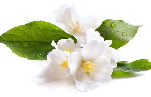 יסמין, 5 יתרונות בריאותיים מפתיעים של הפרח הנפלא
